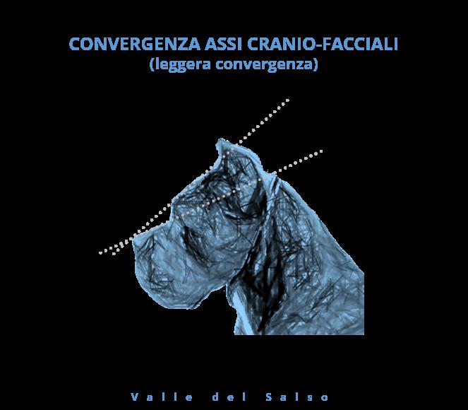 Convergenza assi cranio facciali Cane Corso - Allevamento Cane Corso Valle del Salso